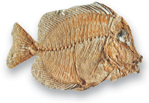 Fish public zone gb3d type fossils high resolution for Types of bony fish